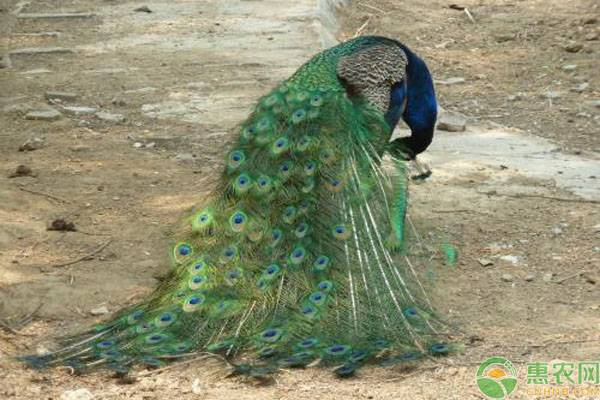 孔雀开屏是什么行为?人工养殖孔雀的两大要点