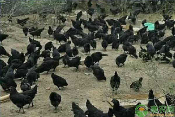 2019绿壳蛋鸡苗多少钱一只?绿壳蛋鸡的营养价值及养殖前景