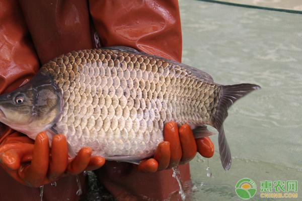 鲫鱼价格多少钱一斤