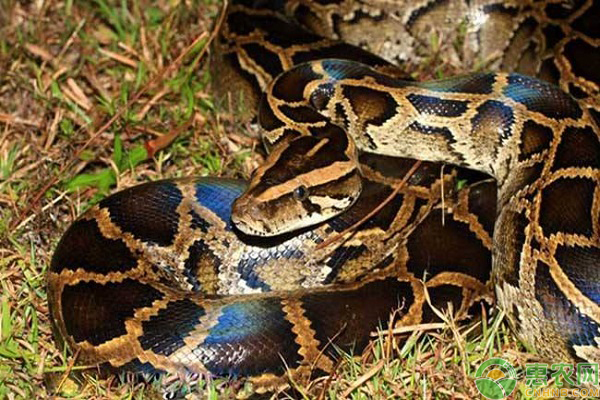 蟒蛇的品种