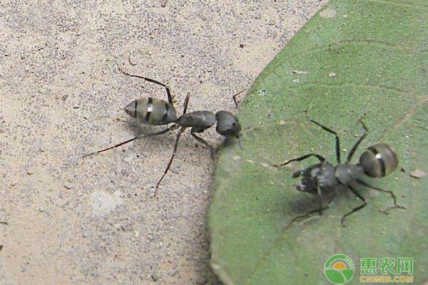 蚂蚁最怕什么?蚂蚁天敌介绍