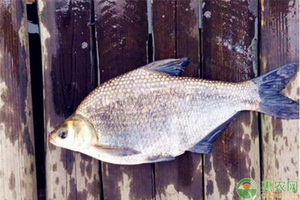 鳊鱼的养殖技术