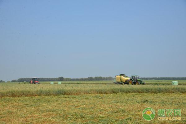 山丹县种植燕麦草,成专供牧草,收入达2亿元!