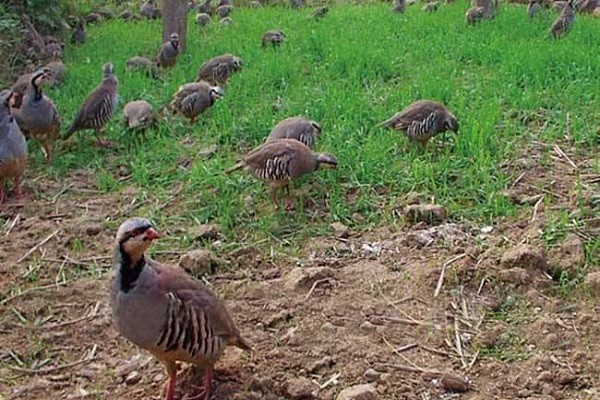 村小伙和父亲共同创业,通过珍禽鹧鸪的养殖带动村民致富!