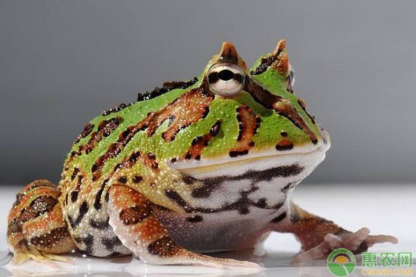 霸王角蛙价格多少钱一斤