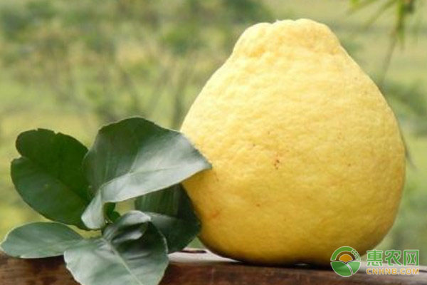 沙田柚的食用功效