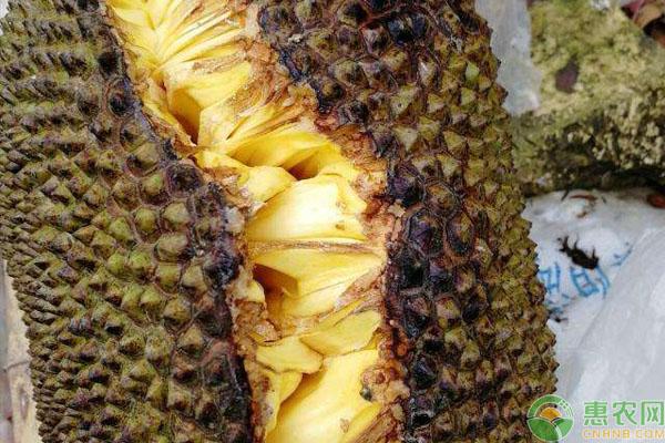 菠萝蜜裂果是什么原因导致的?(附预防措施)