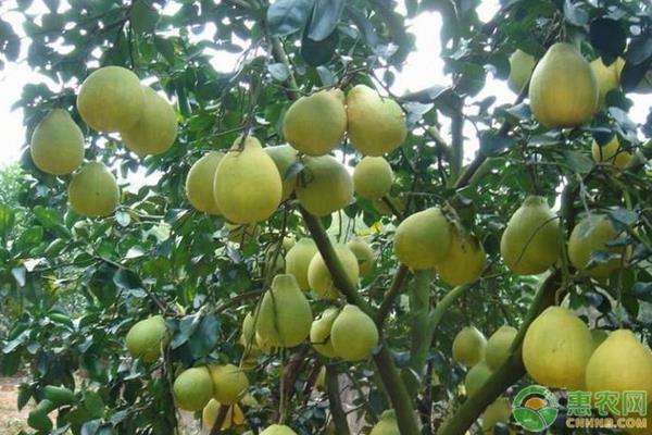 苹果柚的种植技巧