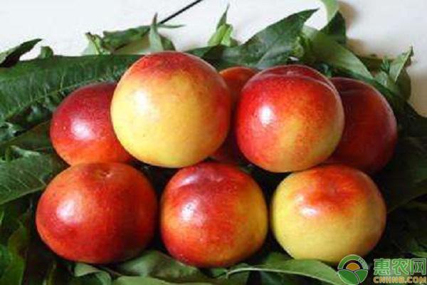 常见的油桃品种