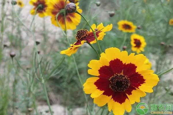 雪菊花项目种植