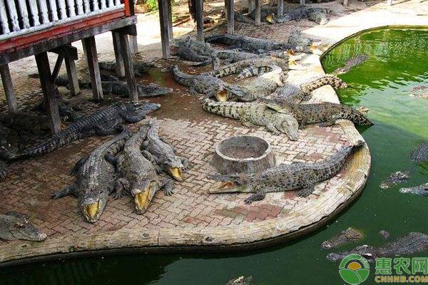 鳄鱼养殖致富
