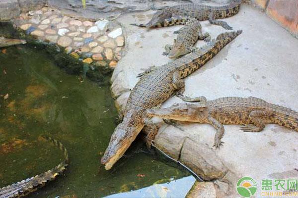 鳄鱼养殖致富案例