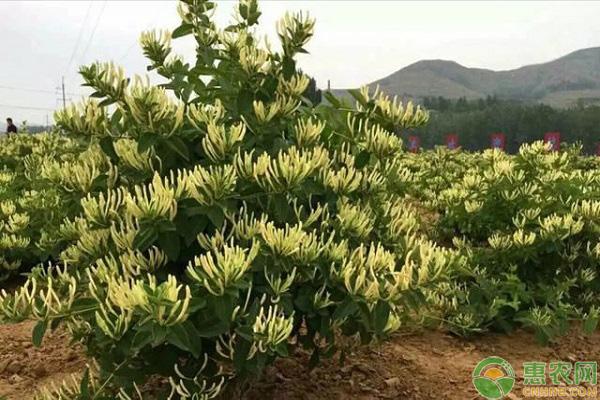 金银花产业种植