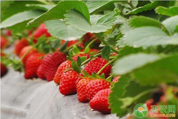 大棚草莓栽培技术与管理