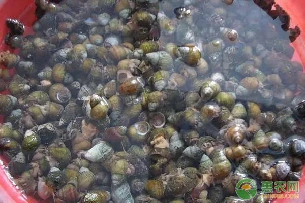 田螺吃什么?多少钱一斤?2019田螺养殖前景和利润