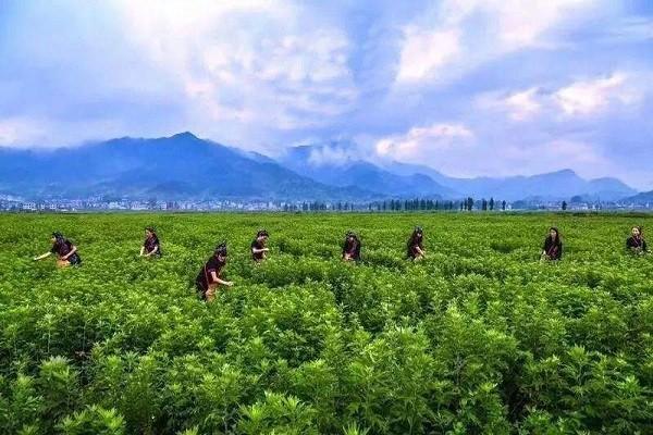 宜阳县:小事业大成就,艾草种植成为乡亲门脱贫出路!