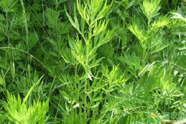 艾草产业种植