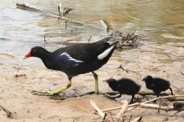 黑水鸡养殖是骗局吗?黑水鸡市场价格及前景分析