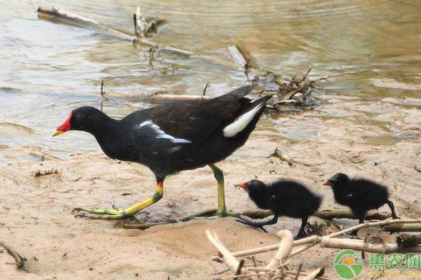 黑水鸡养殖前景