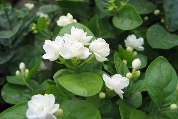 茉莉花的五大常见品种