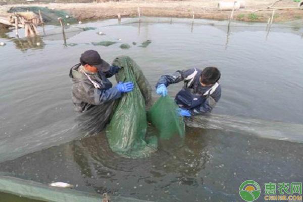 泥鳅项目发展
