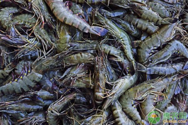 海虾的养殖技术