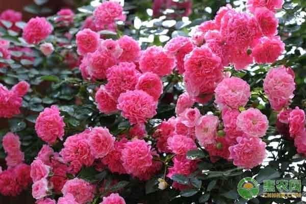 蔷薇花的养殖方法及养护要点