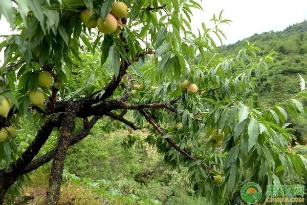 蜜桃价格要多少钱一斤