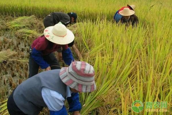 初入行业,以传统方式种植水稻