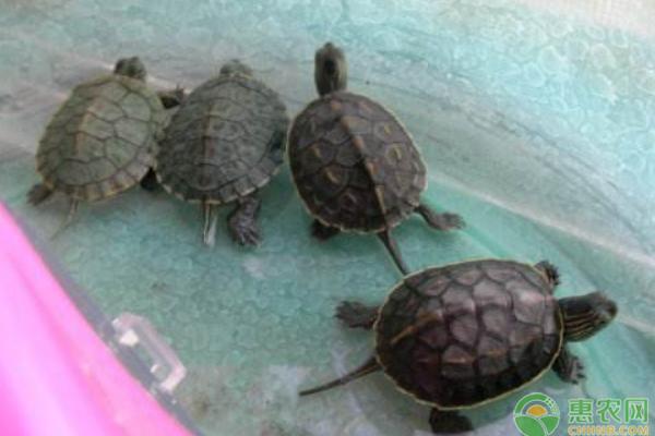 乌龟的养殖技巧