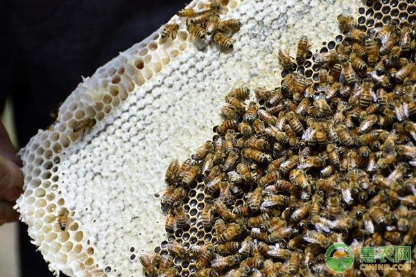 被蜜蜂蛰了怎么消肿?