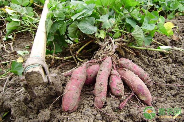 红薯的种植前景