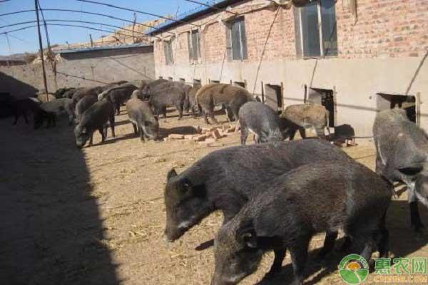 野猪肉多少钱一斤?野猪养殖前景怎么样?