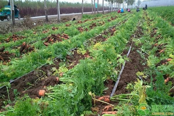 反季节胡萝卜高产栽培管理技术