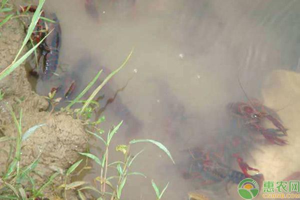 小龙虾白斑病的症状、传染原因及防治方法