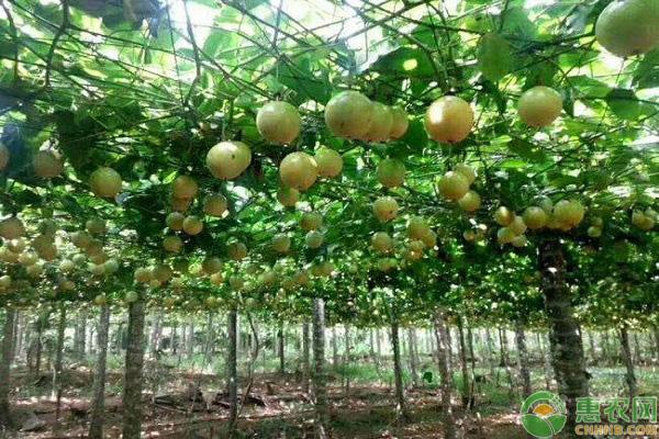 百香果种植技术