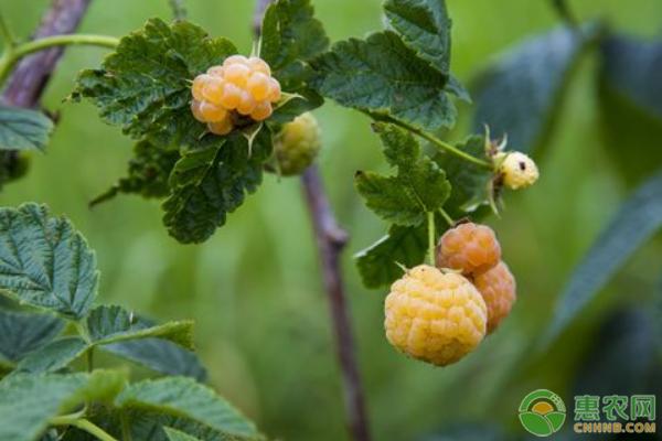 树莓种植技巧
