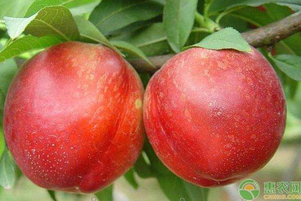 中油12号油桃
