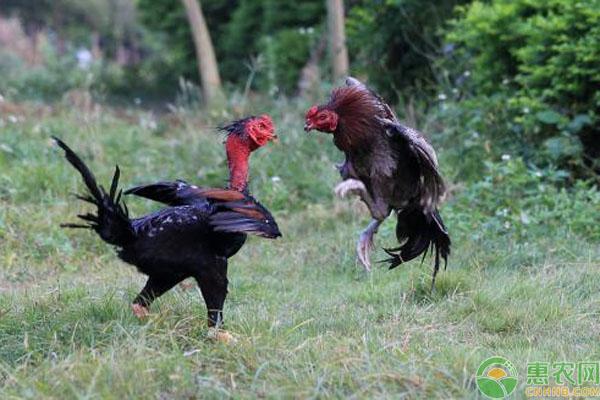 中国斗鸡品种