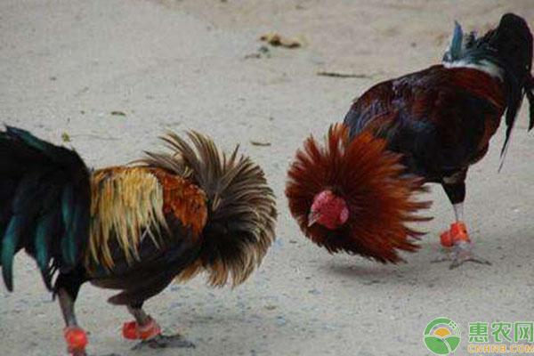 斗鸡品种介绍