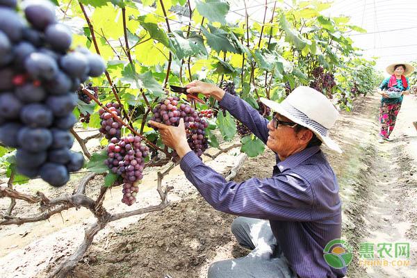 葡萄采收的时间、方法及注意事项