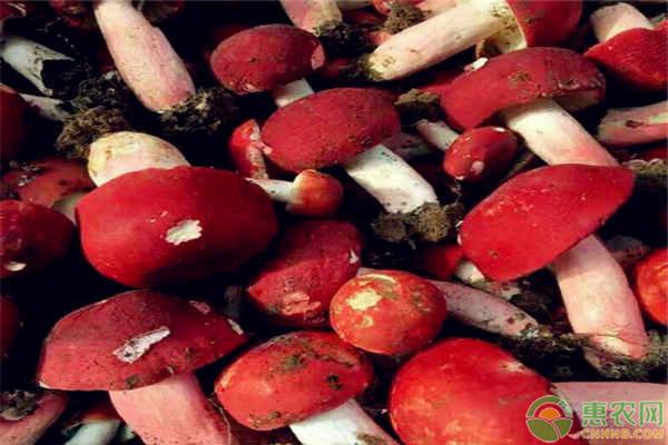 红菇的作用和功效