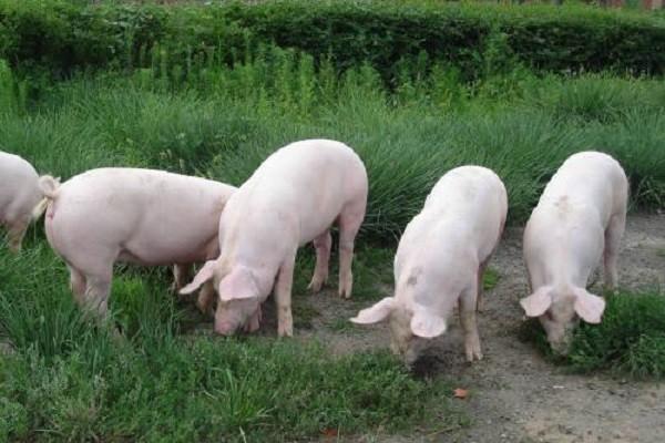 当前肥猪价格走势分析(附今日猪价格)