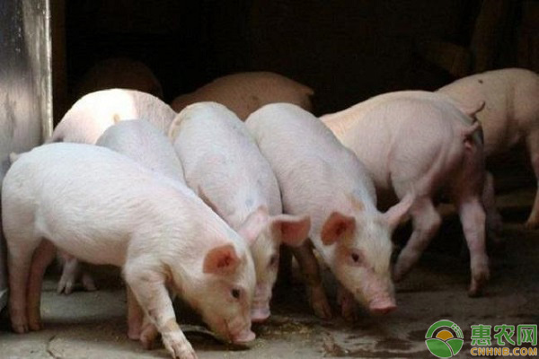 肥猪市场走势