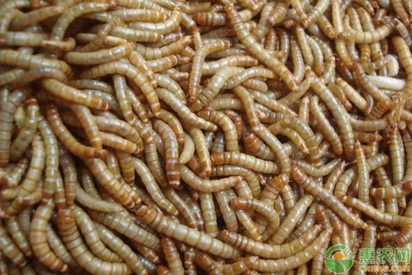 黄粉虫养殖的方法
