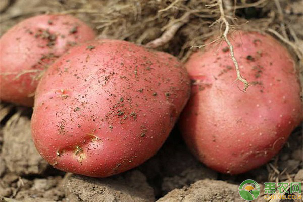土豆特色品种特征
