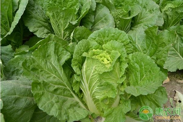 大白菜菜螟的为害特点及防治方法
