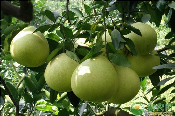 琯溪蜜柚的种植技术及管理要点