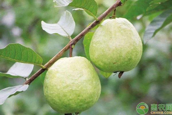 提高番石榴的产量需要掌握哪些种植条件呢?