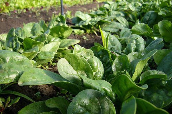 适合秋冬栽种的菠菜品种汇总